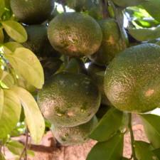 Le citron et l'orange d'Haïti risquent de disparaître totalement