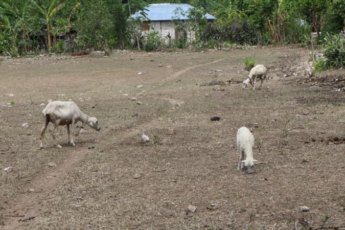 Trois brebis cherchant de l'herbe à brouter